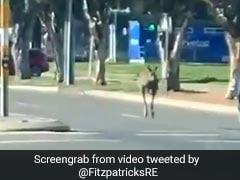 Only In Australia: Kangaroo Bounces Through City, Runs Red Light