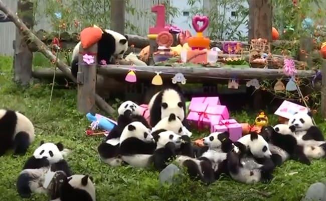 ऐसे मनाया गया दुनिया के सबसे उम्रदराज पांडा का बर्थडे, केक काटकर खा गए खुद ही