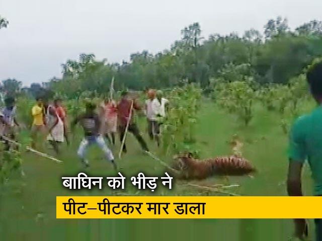 Videos : उत्तर प्रदेश :पीलीभीत में ग्रामीणों ने बाघिन को पीट-पीटकर मार डाला