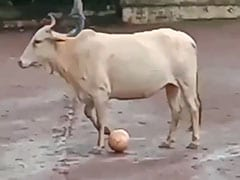 """Even Messi Can't..."": Cow Leaves Twitter Impressed With Football Skills"