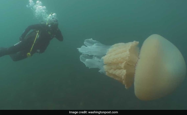Video: Woman Sees Something Large Underwater - Human-Sized Jellyfish