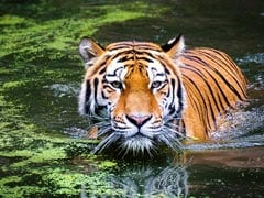 Tiger Found Dead In Canal In Madhya Pradesh's Balaghat District