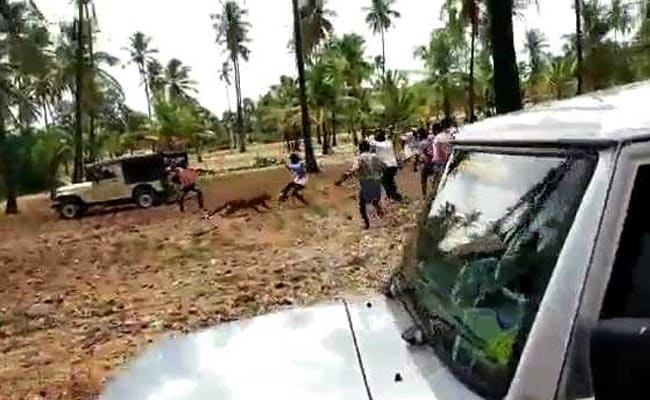 On Video, Leopard Killed By Karnataka Mob In Front Of Forest Ranger