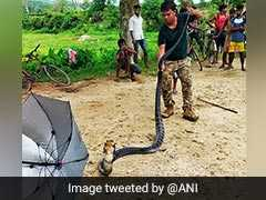 14-Foot King Cobra Rescued From Tea Estate In Assam