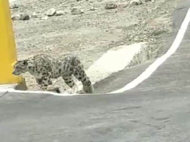 Video : Endangered Snow Leopard Spotted On Nelong Valley Bridge In Uttarakhand