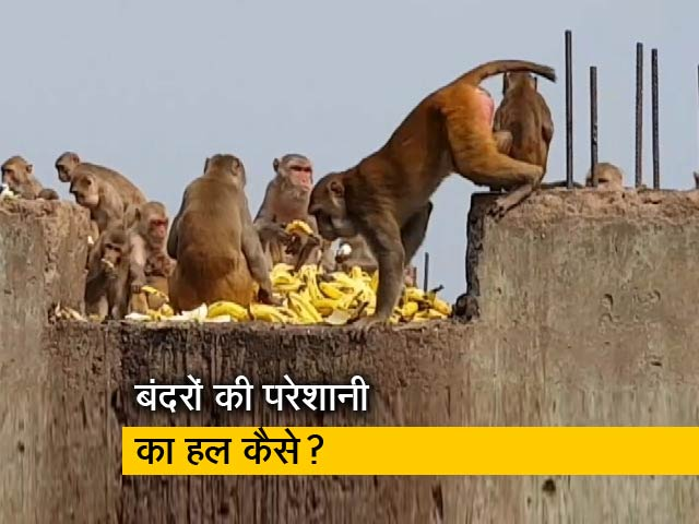 Video : बंदरों के आतंक से कैसे निपटेगी दिल्ली की सरकार?