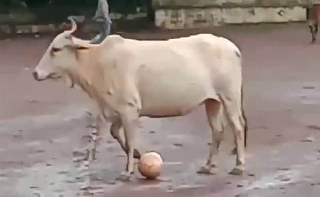 'Even Messi Can't...': Cow Leaves Twitter Impressed With Football Skills