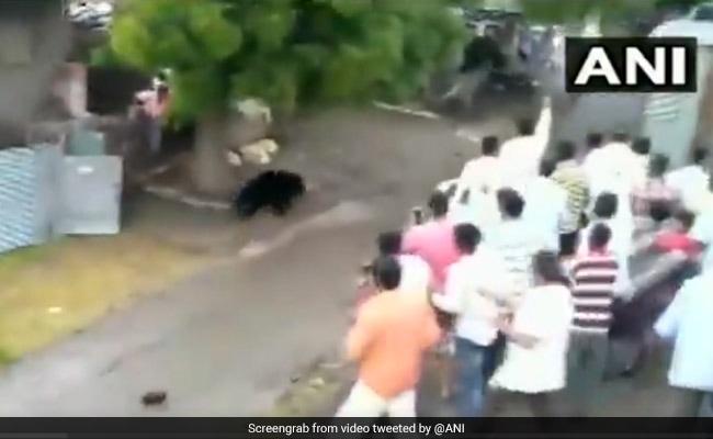 Watch: Bear Strays Into Maharashtra Village, Driven Away By Residents