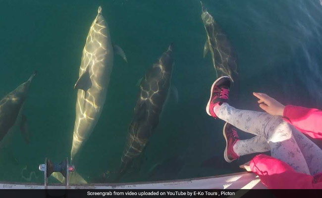 Rare White Dolphin Spotted In New Zealand. Watch Video