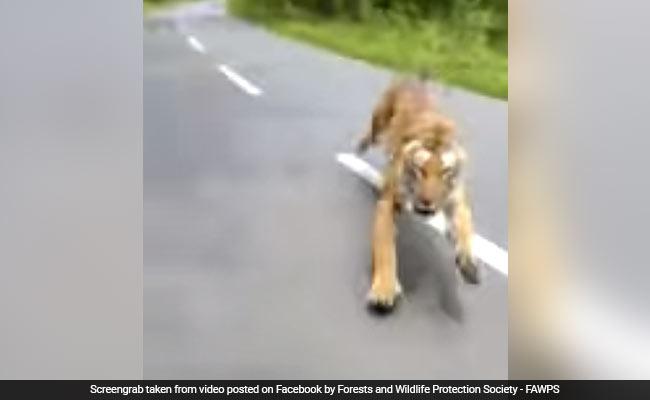 बाघ ने इस तरह किया बाइक पर बैठे जंगल के अधिकारियों का पीछा, वायरल हो गया वीडियो