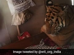 "Tiger's ""Bed N Breakfast"" In Assam Home As Raging Waters Flood Kaziranga"