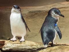 Penguins Break Into Sushi Stall, 'Detained' By Police