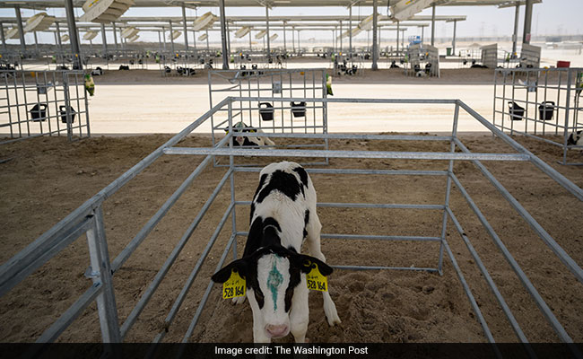 How Qatar's Cows Show Growing Resistance To Saudi-Led Boycott