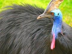 "Delhi Zoo's Last Cassowary, ""World's Most Dangerous Bird"", Dies"