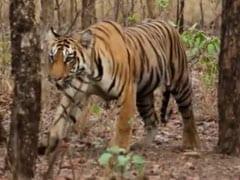 Tigress Found Dead In Madhya Pradesh's Panna Tiger Reserve; 4th Death In 10 Days