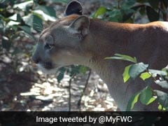 Endangered Panthers Seen Stumbling As If Poisoned. No One Knows Why