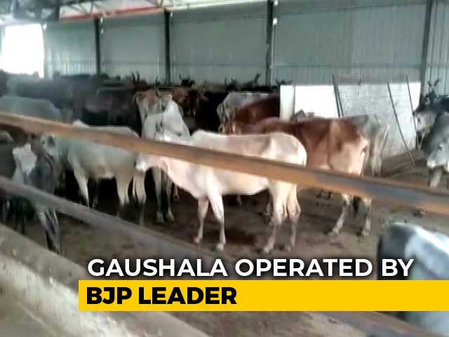 Video : A Dozen Cows Found Dead Near BJP Worker's 'Gaushala' In Madhya Pradesh
