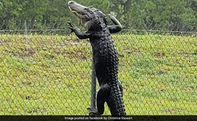 Horrifying Video Shows Alligator Climbing Fence At Military Base