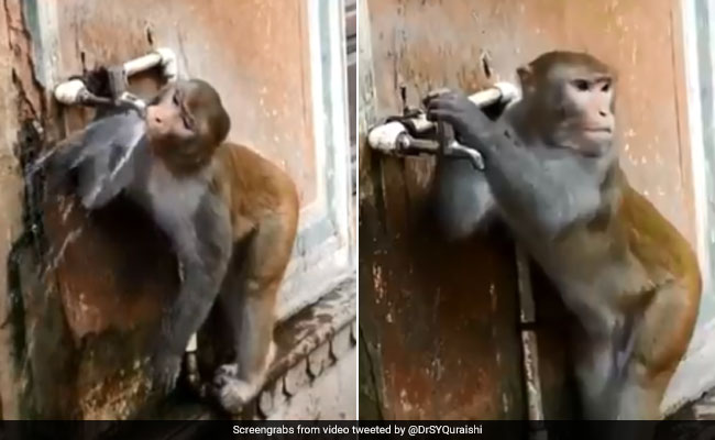 Monkey Closes Tap After Drinking Water. A Lesson For Humans, Says Twitter