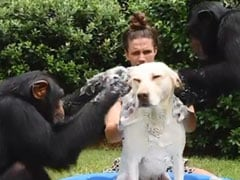 Viral Video Of Two Chimps Bathing A Dog Delights Internet