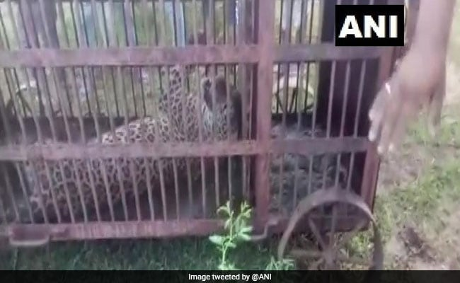 Leopard Rescued Days After It Strayed Into Rajasthan Town