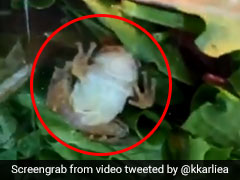Family Finds Live Frog In Box Of Lettuce. Watch