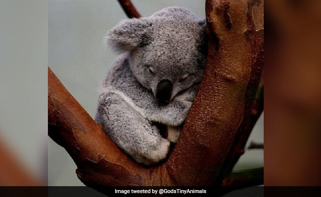 Australian Scientists Find How To Save Starving Koalas – Feed Them Poo