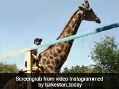 Watch: Drunk Man Climbs Fence, Rides Giraffe At Zoo. Then...