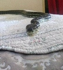 Huge Snake Falls From Ceiling To Bed. Pics Will Make You Shudder