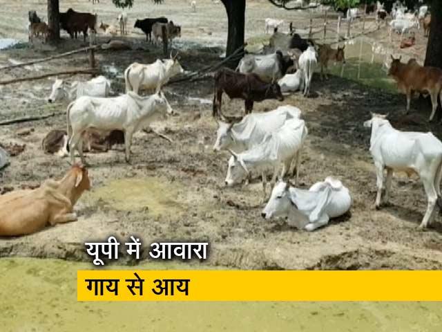 Videos : आवारा गायों को घर में रखने पर यूपी सरकार देगी 900 रुपये महीना