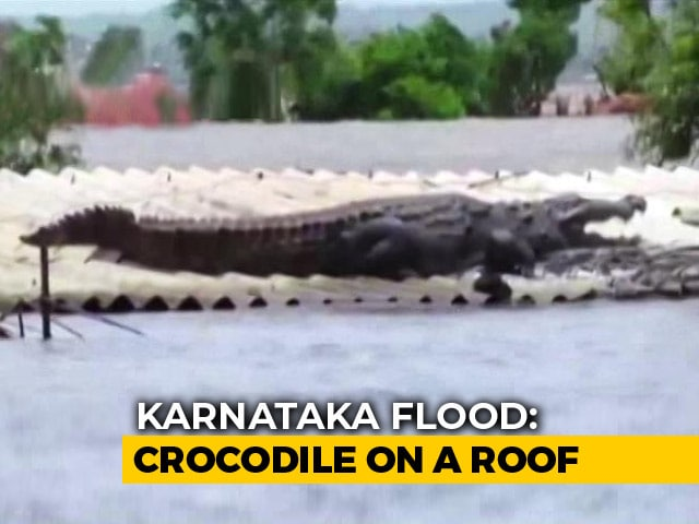 Video : Huge Crocodile Seen On Roof Of Submerged House In Flood-Hit Karnataka