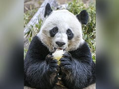 Could Pandas Get Caught In Trade War?