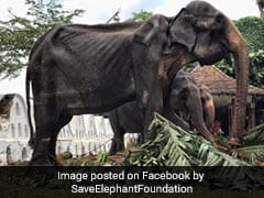 70-Year-Old Bony Elephant Was Paraded In Sri Lanka. She Later Collapsed