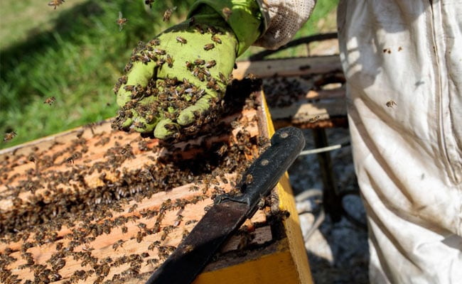 Half A Billion Bees Dropped Dead. A Message For Humans, Say Scientists