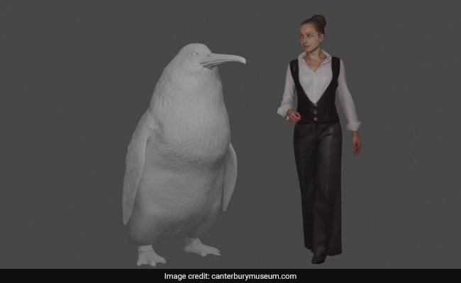 'Human-Sized' Penguin Fossil Found In New Zealand