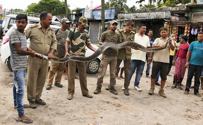 14.4-Feet-Long Python Rescued In Assam. It Weighs 35 Kg