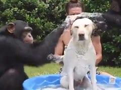 कुत्ते को शैम्पू लगाने के लिए दो चिंपाजी ने किया ऐसा काम, देखकर आप भी हंस-हंसकर लोट-पोट हो जाएंगे