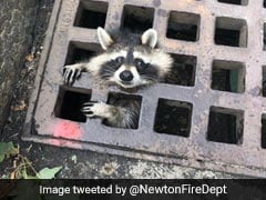 Viral: Raccoon Stuck In Sewer Grate Sparks 2 Hour Rescue Operation