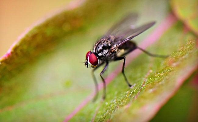 पाकिस्तान में मक्खियों का आतंक, विधानसभा में मांगी जा रही है विशेष दुआएं...हुआ ऐसा हाल