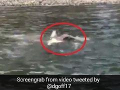 चील ने नदी में घुसकर किया मछली का शिकार, किनारे पर जाते ही किया ऐसा... देखें VIDEO