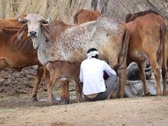 "Madhya Pradesh To Soon Have 100 High-Tech ""Gau Shalas"""