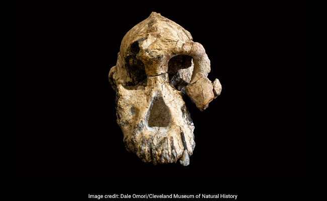 3.8-Million-Year-Old Skull Is An Iconic Specimen In Humans' Evolution