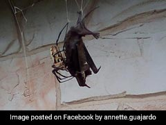 Huge Spider Catches, Eats Bat In Web. Pics Might Make Your Skin Crawl