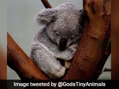 Australian Scientists Find How To Save Starving Koalas - Feed Them Poo