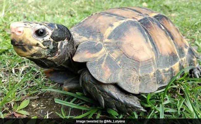 Rare Species Of Tortoise Seen In Arunachal Pradesh, Second Sighting Since June