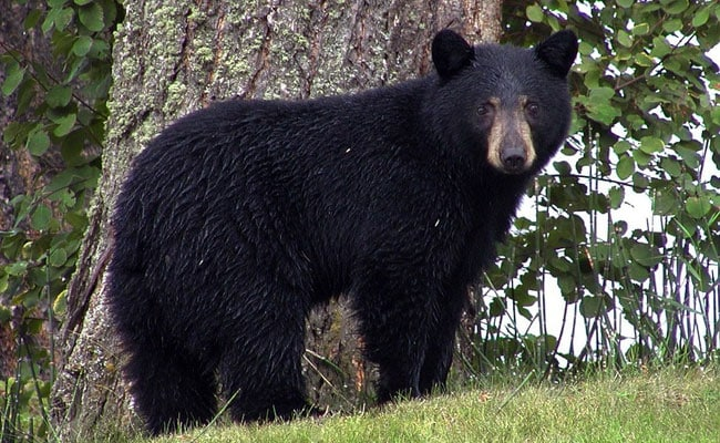 Black Bear Breaks Into House, Smashes Wall To Escape