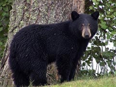 Bear Enters BSNL Office In Sikkim, Attacks Engineer