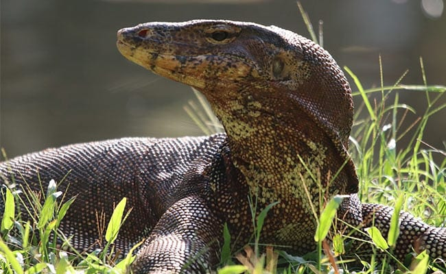 3-Foot Monitor Lizard Causes Panic In Agra Ashram, Rescued