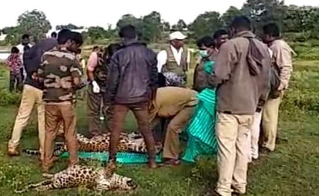 Leopard, 4-Month-Old Cubs Found Dead In Karnataka Village