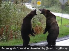 Grizzly Bear Fight Caught On Camera. A Million Views For Video